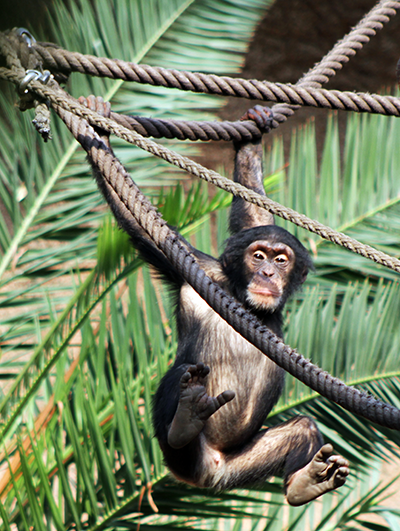 Schimpanse_in_Pongoland__c__Zoo_Leipzig