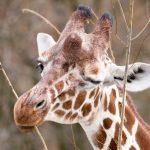 Giraffe Limber_Hellabrunn_2016_Dennis Eckert (3)