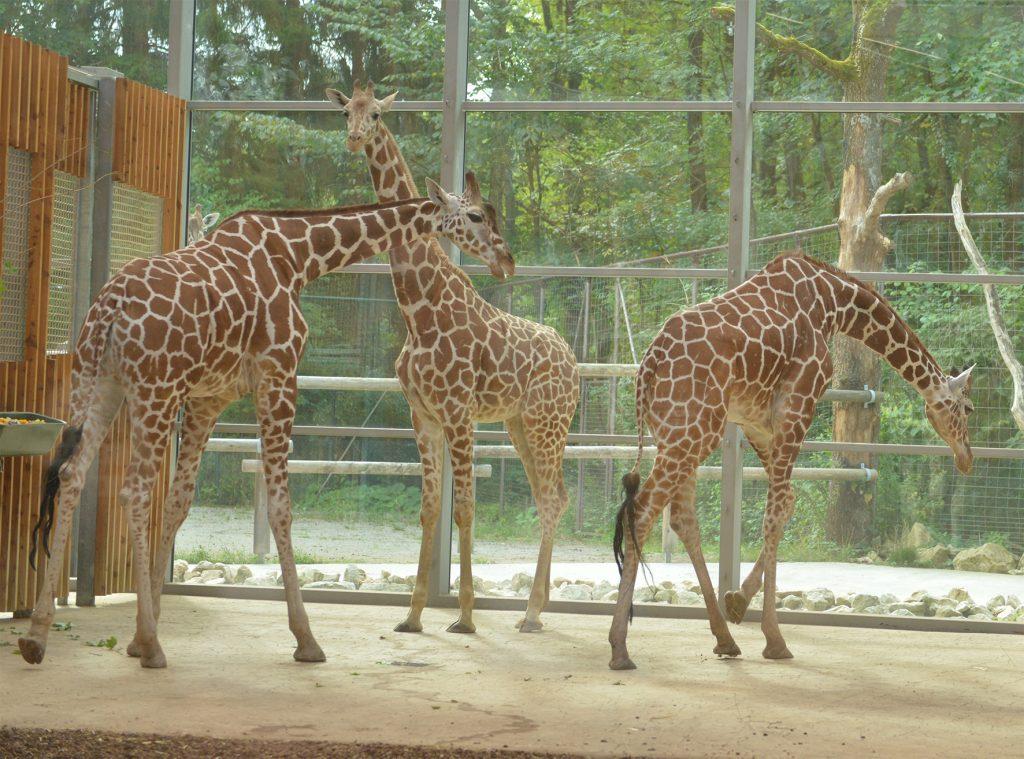 Giraffenzusammenführung mit Bahati (li.), Taziyah (mitte) und Limber (re.)_Hellabrunn_2015