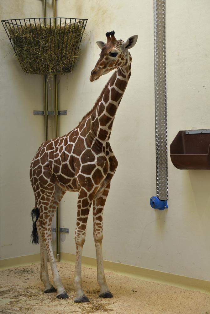giraffemakena_tierparkhellabrunn_2016